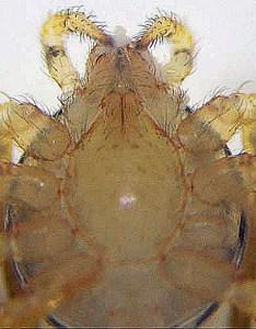Scytodidae: Spitting Spider (Sytodes thoracica); Ventral prosoma; Laura, Austin, TX--12.13.2008