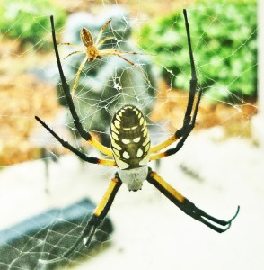 081510 141026 Araneidae: yellow garden spider (Argiope aurantia); dorsal female, ventral male; Amy P., Ponder TX