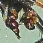 083110 072800 Araneidae: yellow garden spider (Argiope aurantia); palps of dead male; Amy P., Ponder TX