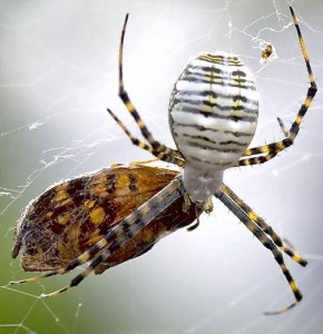 Araneidae: banded garden spider (Argiope trifasciata); dorsum, feeding on moth; Stephen M., Justin TX---21 Jul 2007
