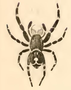 Bold jumper male, as drawn in 1845 by Nicholas Marcellus Hentz