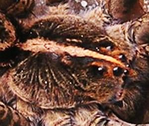 Lycosidae: dorsal prosoma; Graham M., East Texas---30 Mar 2008