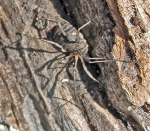 Opiliones: harvestman; on tree trunk; Kevin, Junction TX---25 Apr 2010