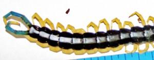 Scolopendridae: giant centipede (Scolopendra heros); posterior half; Linda R., Leakey, TX--24 April 2010