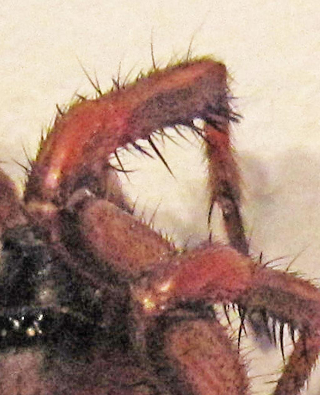 Myrmekiaphila trapdoor spider; male, distal right leg; Jeannette H., Mobile AL --- 10 Mar 2011