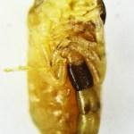 Striped bark scorpion (Centruroides vittatus); prebirth young, ventral view