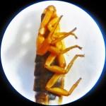 Striped bark scorpion (Centruroides vittatus); prosoma & anterior mesosoma, lateral view