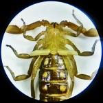 Striped bark scorpion (Centruroides vittatus); 1 June 2011, Buda, TX; ventral prosoma, anterior mesosoma