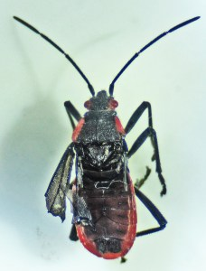 Hemiptera: Lygaeidae: Dorsum: Round Rock, TX 22 June 2011