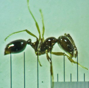 Hymenoptera: Formicidae: Little black ant (Monomorium minimum); Round Rock, TX --- June 2011