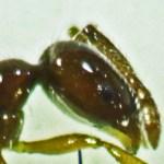 Hymenoptera: Formicidae: Little black ant (Monomorium minimum); lateral head; Round Rock, TX --- June 2011