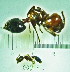 Hymenoptera: Formicidae: Little black ant (Monomorium minimum): compared to Crematogaster species; Round Rock, TX --- June 2011