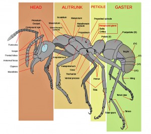 Ant Worker Anatomy, General Scheme