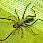 Solifugae: Camel Spider from Afghanistan, dorsum --- Jason C., 21 July 2011
