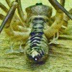 Solifugae: Camel Spider from Afghanistan, posterior view showing malleoli --- Jason C., 21 July 2011