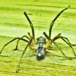 Solifugae: Camel Spider from Afghanistan, posterior view --- Jason C., 21 July 2011