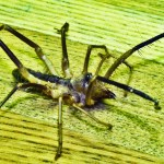 Solifugae: Camel Spider from Afghanistan, right laterodorsal view --- Jason C., 21 July 2011