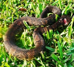 Viperidae: Western cottonmouth (Agkistrodon piscivorus, Lacépède 1789); dorsum, Tammy D., Santa Fe, TX --- 28 Aug 2011