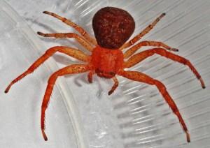 Araneae: Thomisidae: Amanda L., Athens, TX --- 29 Nov 2011