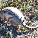 Nine-banded Armadillo (Dasypus novemcinctus); Hutto, TX, 17 Nov 2011 --- Foraging