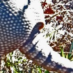 Nine-banded Armadillo (Dasypus novemcinctus); Hutto, TX, 17 Nov 2011 --- Proximal Tail