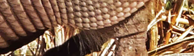 Texas Nine-banded Armadillo (Dasypus novemcinctus)