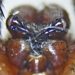 Brown Spider; Annie P,, NW Austin, TX; Entites, Labrum, Distal Chelicerae