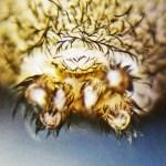 Brown Spider; Annie P,, NW Austin, TX; Posterior Spinnerets, Anus