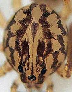 Scytodidae: Scytodes: Left Frontodorsal Carapace; Laura, N. Austin --- 13 Dec 2008