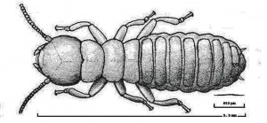 A Subterranean Termite and an Entomopathogenic Nematode
