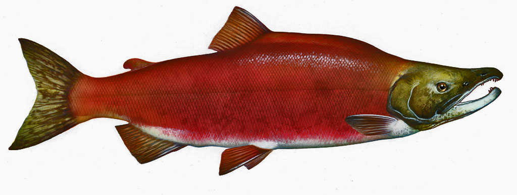 Sockeye salmon (Oncorhynchus nerka): Photo by Timothy Knepp of the Fish and Wildlife Service