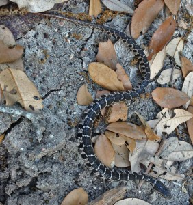 Juvenile Blotched Water Snake (Nerodia erythrogaster transversa): Michael Logozar, Round Rock, Texas --- 13 APR 2012