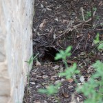 2012 May 5 Active Animal Burrow
