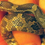 North American rat snake juvenile; lateral midbody: Walter Fuller, Frisco, TX --- 1 May 2012