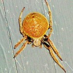 Southern orb weaver (Eriophora ravilla); dorsal habitus & dorsal femurs: Louise Giguere, Orange, TX --- 10 August 2009