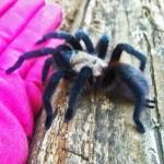 Brown Tarantula (Aphonopelma spp.); from the side: Elizabeth Friesenhahn, near McKinney, TX --- 16 May 2012