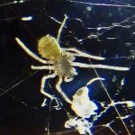 Spitting spider: spiderling ventrum, from south Austin, TX --- 3 August 2012