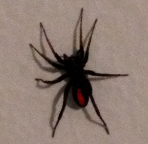 Black Spider with Red stripe, College Station, Tx 03 Aug 2012 Ashley A Original