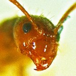 Rasberry Crazy Ant (Nylanderia sp. nr. pubens); NW Houston, Texas; 07 Sept 2012; frontal head