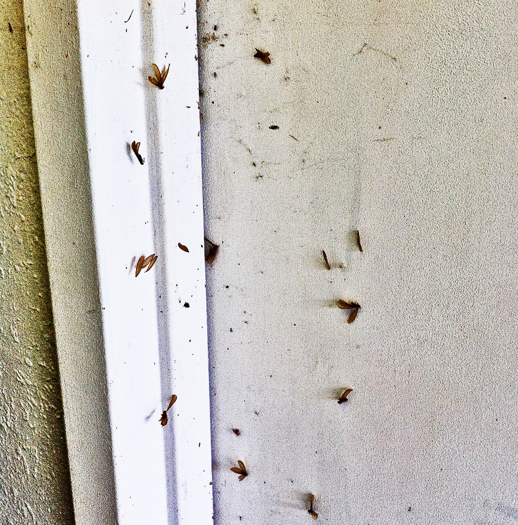 Formosan Termites Swarm in Dripping Springs and Wimberley, Texas ...
