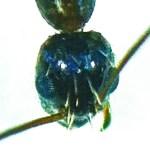 Longhorn Crazy ant (Paratrechina longicornis); Victoria, TX; Ramon Alaniz, Victoria, TX, 28 Sep 2012 --- dorsoposterior head