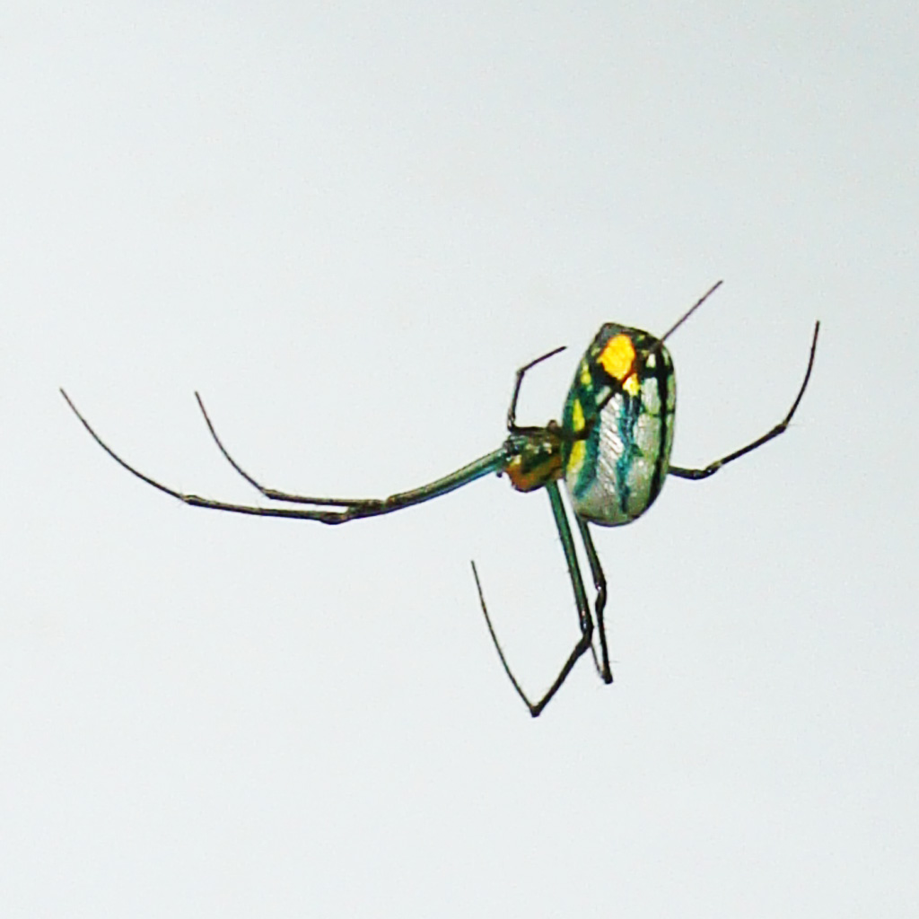 An Orchard Orb Weaver in Houston, Texas | Bugs In The News