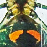 Tetragnathidae: Leucauge venusta; Troy Bell, Houston, TX, 9 Dec 2012 --- pedicel & epigynum