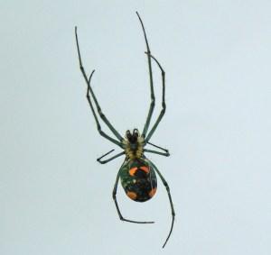 Tetragnathidae: Leucauge venusta; Troy Bell, Houston, TX, 9 Dec 2012 --- ventral habitus