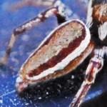 Salticidae: Bagheera male; Katie Baker, Blanco, TX; 26 NOV 2012 --- laterodorsoposterior abdomen