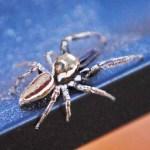 Saltidicae: Bagheera male; Katie Baker, Blanco, TX; 26 NOV 2012 --- laterodorsoposterior habitus