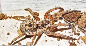 Female Wolf Spider, 3 Jan 2013; Robert Smith, Kempner, TX --- right dorsolateral habitus