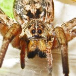 Female Wolf Spider, 3 Jan 213; Robert Smith, Kempner, TX --- frontal face