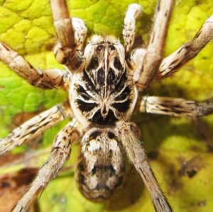 Burrowing wolf spiders in Kempner, Texas