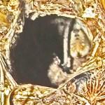 11.7mm BURROW IN SHORTGRASS PRAIRIE: ROBERT SMITH, KEMPNER, TX, 10 JAN 2013